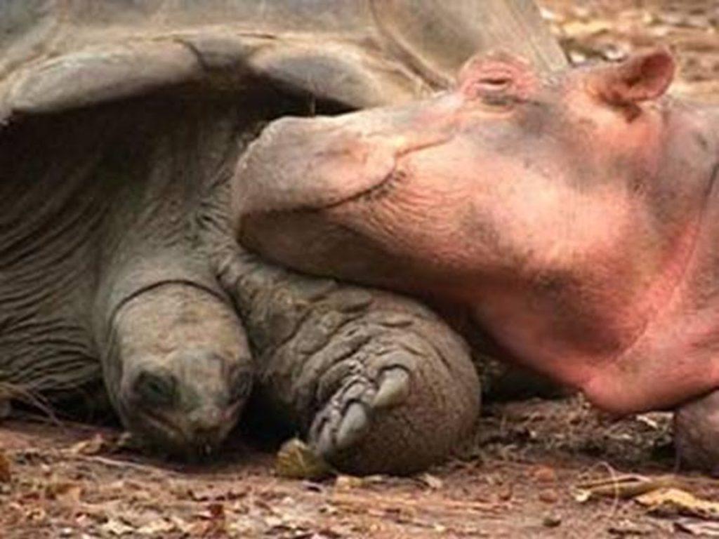 meraviglia il rapporto tra l'ippopotamo Owen e il Tartaruga Mzee