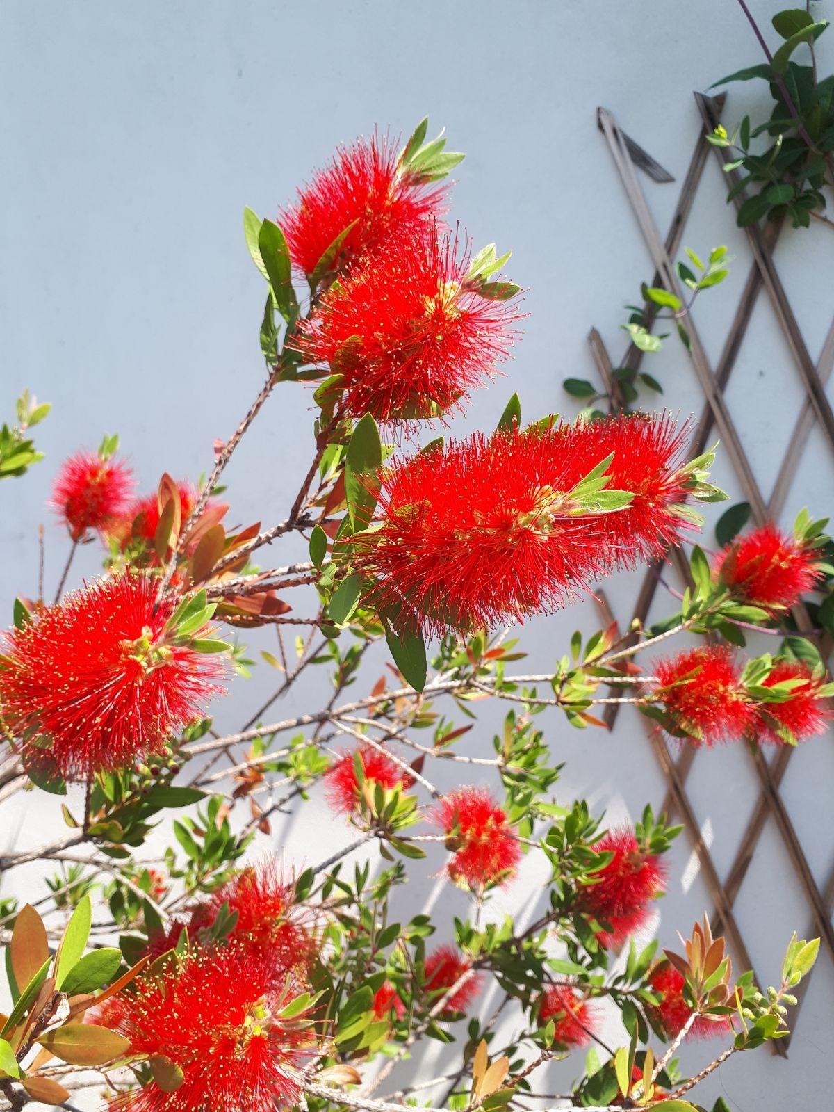 Un fiore (come questo Callistemone) è il pezzetto di natura più bello e più facile da portarci a casa